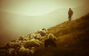 shepherd-92244